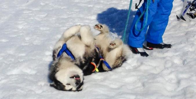 Alaskan malamute.IMG_2241_2310